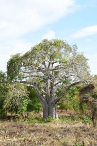 A beautiful baobab.